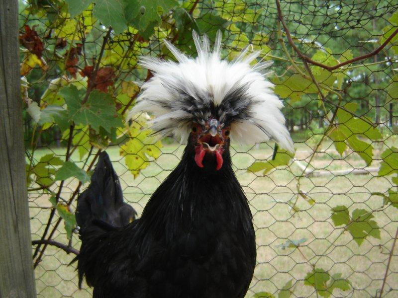mr whitehead a white crested black polish rooster photo