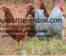 My Katrina Chickens